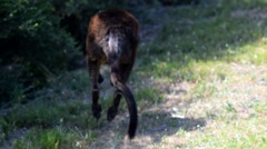Kangaroo escaping from the road - stock footage