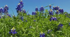 Field of Texas Bluebonnets swinging in the wind Stock Footage