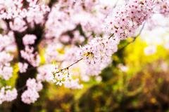 Stock Photo of cherry blossoms during blooming season
