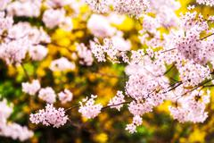 cherry blossoms during blooming season - stock photo
