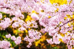 Cherry blossoms during blooming season Stock Photos