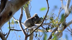 Koala on a tree - stock footage