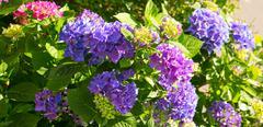 Purple hydrangea flowers. - stock photo