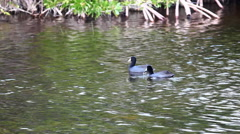 Stock Video Footage of American Coot, Fulica americana, in marsh