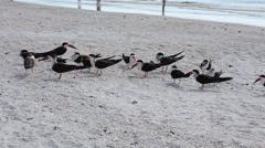 Flock of Black Skimmer, Rynchops niger Stock Footage