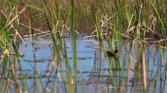 Common Moorhen, Gallinula chloropus, swimmimg in marsh Stock Footage
