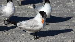 Royal Tern, Thalasseus maximus, preening on the beach Stock Footage