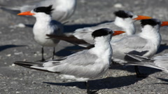 Group of Royal Tern, Thalasseus maximus - stock footage