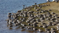 Willet, Tringa semipalmata, resting on sandbar Stock Footage