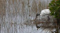 Wood Stork, Mycteria americana, feeding in marsh - stock footage