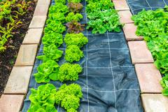 Rows of lettuce growing on an allotment garden - stock photo