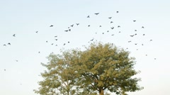 Crows leave and fly away from a tree Stock Footage