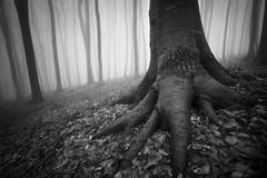 Tree with giant roots in Haunted Halloween forest Stock Photos