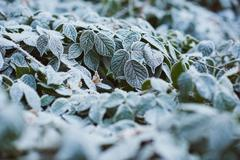 Green leaves covered in a delicate layer of white frost Stock Photos