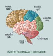 Parts of the human brain - stock illustration