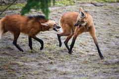 Two bickering red wolves - stock photo