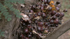 Hand held shot of palm berries for palm oil on a palm tree Stock Footage