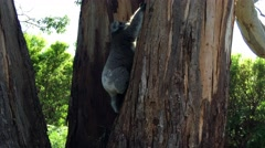 Young Koala climbing trees in Great Otway National Park Stock Footage