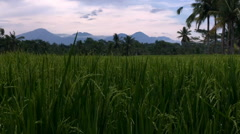Crane up to volcanos of Bali through a lush rice field during sunset Stock Footage