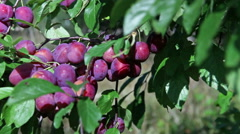 Branches of a plum tree with ripe fruits Stock Footage