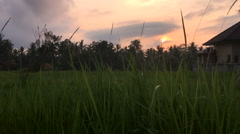 Establishing shot of Bali house in a rice field during sunset - dolly. Stock Footage