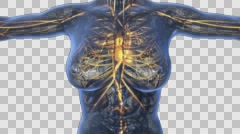 Loop science anatomy of human body in x-ray with glow blood vessels on blue. Stock Footage