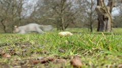 Squirrel grabbing a peanut and running away Stock Footage