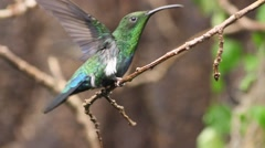 Hummingbird Perched on a Branch Stock Footage