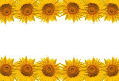 Sunflower isolate on white, design for background. - stock photo