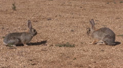 Pair of Cottontail Rabbits Facing Off for Dominance Stock Footage