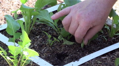 Radish Being Picked From Backyard Garden Older Male Hand Stock Footage