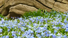 Wild spring flowers - Snow Drops Stock Footage