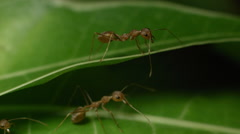 Weaver ant (Oecophylla Smaragdina) standing guard Rec709 Stock Footage