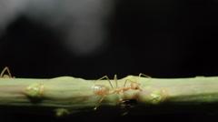 Weaver ants (Oecophylla Smaragdina) tree life Rec709 Stock Footage