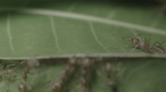 Weaver ant (Oecophylla Smaragdina) standing guard on mago leaf LOG footage Stock Footage