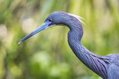 Tricolor Heron Profile Stock Photos