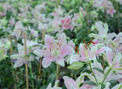 Pink Easter lily flower (Lilium longiflorum) - stock photo