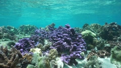 Shallow reef with purple coral French Polynesia - stock footage