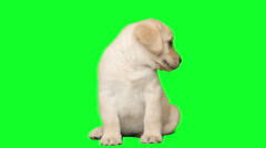 Labrador puppy on a green background Stock Footage