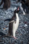 Adelie penguin squawking on grey shingle beach Stock Photos