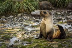 Antarctic fur seal lying on mossy rocks Stock Photos