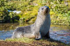 Antarctic fur seal on island in pond - stock photo