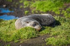 Antarctic fur seal on grass beside pond Stock Photos