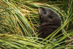 Antarctic fur seal pup among grass tussocks - stock photo