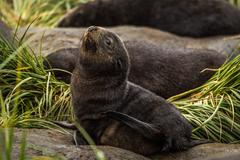 Antarctic fur seal pup on grassy rock - stock photo