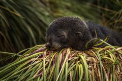 Antarctic fur seal pup sleeping in grass - stock photo