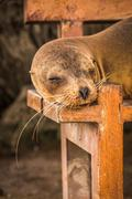 Galapagos sea lion sleeping on wooden bench - stock photo