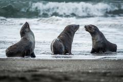 Three Antarctic fur seals with surf behind - stock photo