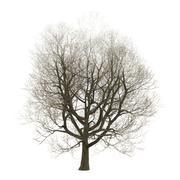 3D Illustration Ash Tree on White - stock illustration