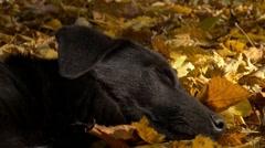 Sleeping Dog on Yellow Leaves Stock Footage